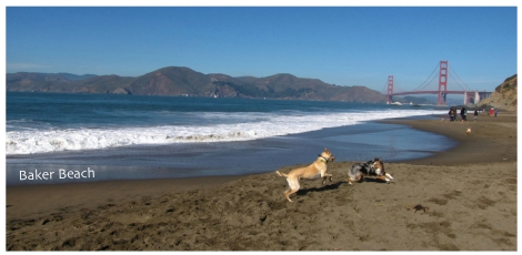 Dogs playing on Baker Beach
